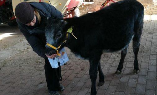 VOGHERA 24/01/2018: Dal Presepe al… macello. Corsa contro il tempo dell'Enpa per aiutare a vivere un asino e una vitella. Se l'asinello è salvo per la vitellina si cerca ancora con urgenza una sistemazione