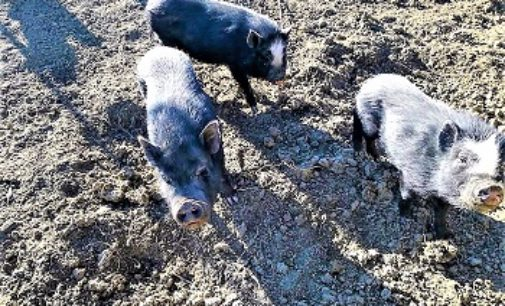 VOGHERA 21/03/2018: Domenica pranzo Vegano per salvare 6 maialini vietnamiti