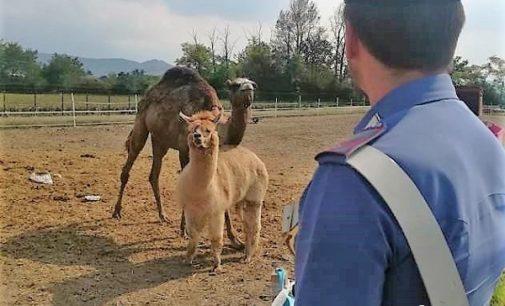 """VOGHERA 05/09/2018: Sequestri dei carabinieri nello """"zoo"""" sorto in periferia. Sanzioni anche per un capannone di Medassino"""