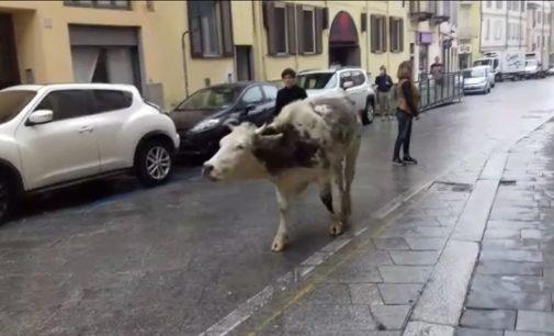 PAVIA 26/10/2018: Mucca al pascolo in centro città. Fuori programma oggi in corso Garibaldi (VIDEO)