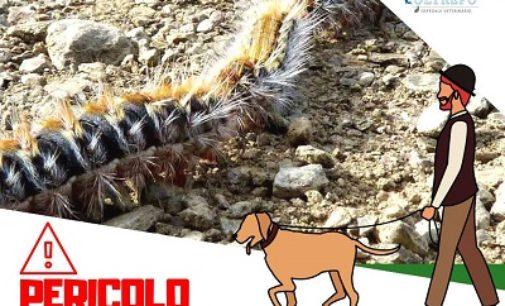 OLTREPO PAVESE 16/04/2019: Animali. L'avvertenza dei Veterinari contro la Processionaria. Ma è pericolosa anche per gli Umani