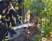 STRADELLA 02/05/2019: Pompieri salvano un capriolo rimasto imprigionato