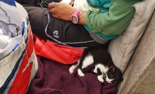 PAVIA 10/07/2019: Gattino usato per l'accattonaggio. La LAV chiede al Sindaco il rispetto del Regolamento Tutela Animali