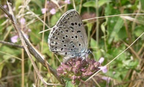 COLLI VERDI 03/07/2019: Domenica il Festival delle Farfalle. Nell'ambito del il 10° Campo Internazionale di Legambiente