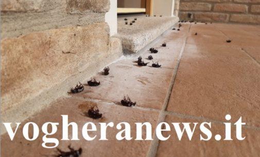 VOGHERA 02/09/2019: Case invase da centinaia di insetti. Escono di notte e si dirigono vero le abitazioni. Residenti preoccupati