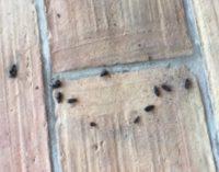 VOGHERA 10/09/2019: Invasione coleotteri. Il fenomeno si sta esaurendo