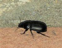 VOGHERA 04/09/2019: Invasione insetti. Interviene anche il Servizio fitosanitario di Regione Lombardia