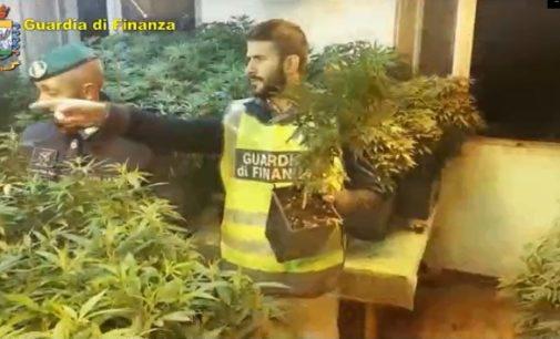 BORGO PRIOLO 18/10/2019: Maxisequestro di stupefacente. La Finanza scopre una centrale per la produzione di marijuana ed effettua un arrestato