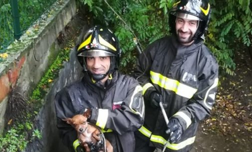 PAVIA 04/11/2019: Pompieri salvano un chihuahua smarrito e caduto in un canale