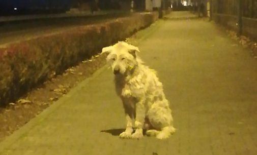 BREME 30/12/2019: Finalmente in salvo il cane Barnaba che aveva perso fiducia negli umani. Vecchio e malato non si faceva avvicinare dopo l'abbandono