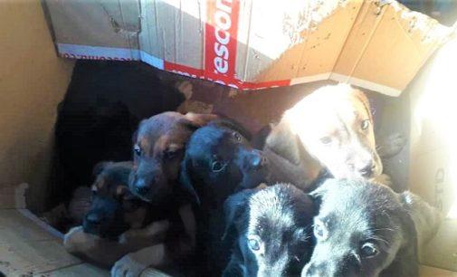 VOGHERA 23/12/2019: Gruppo di 14 cagnolini trovati abbandonati in città. L'Enpa li accoglie e denuncia la possibile causa: Quelle 'staffette' dal Sud fatte in modo scorretto