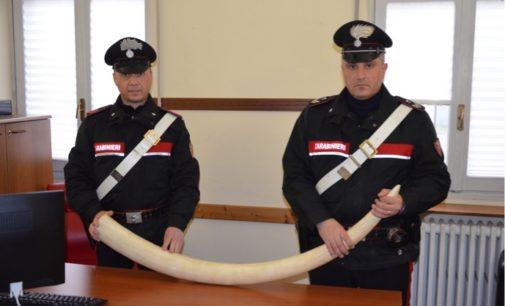 BRONI 29/01/2020: Detiene un trofeo animale di specie protetta. Denunciato dai Carabinieri
