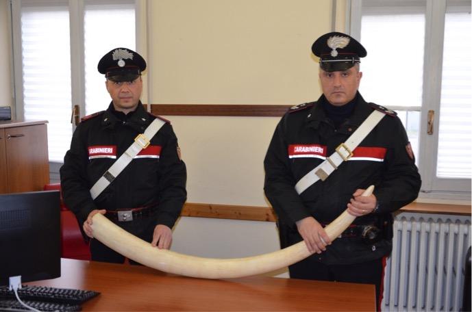 Carabinieri zanna elefante