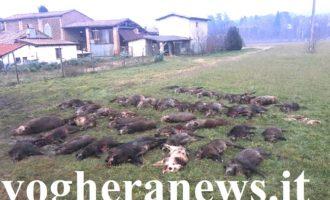 PAVIA OLTREPO PAVESE 12/05/2021: Animali. Nel 2020 uccisi quasi 1700 cinghiali in provincia di Pavia. La Regione teme i danni provocati all'agricoltura e vuole ancora più abbattimenti