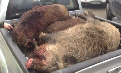 """VOGHERA 05/02/2021: Animali. Lettere. """"La regione sbaglia: La caccia non risolve il problema ma lo crea"""""""