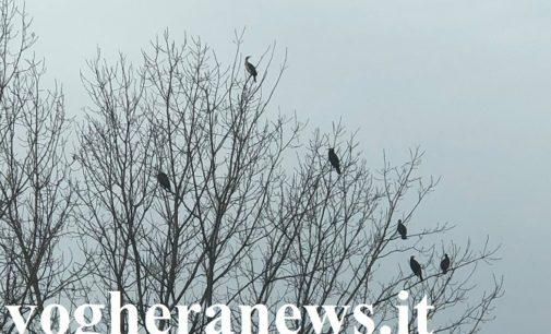 """PAVESE OLTREPO LOMELLINA 08/01/2020: Gli """"alberi selvatici di pianura"""" presenti nelle nostre campagne vanno preservati. Non eliminati come sempre più spesso accade. Servono a loro!!!"""