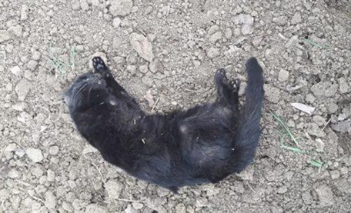 VOGHERA 27/02/2020: Gatta investita e abbandonata in strada. La Lav. Mai lasciare uscire gli animali con leggerezza
