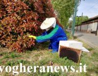 VOGHERA 17/04/2020: Nido di api vicino al luogo di passaggio. L'apicoltore risolve il problema