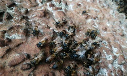 PAVIA 02/05/2020: Arse vive migliaia di api in via Riviera. La Lav. Pronti a denunciare il responsabile