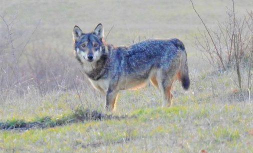 OLTREPO VOGHERA 28/05/2020: Salvare il lupo dalla paura della gente e dagli inutili allarmismi. Ora c'è l'associazione 'Io non ho paura del lupo'