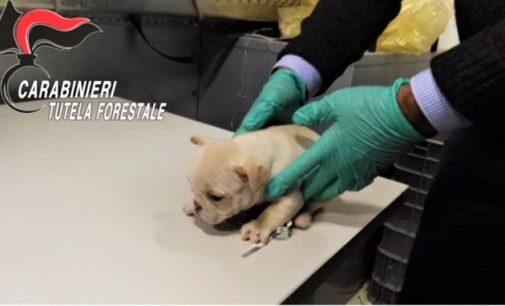 LODI 03/06/2020: Traffico di cuccioli dall'Est Europa. Denunciati in 9 per maltrattamento e frode in commercio