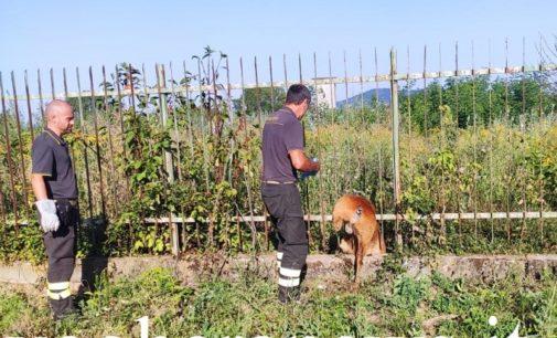CODEVILLA 09/08/2020: Animali. Capriolo sfortunato si incastra tra le sbarre di una recinzione e muore
