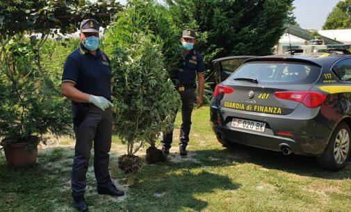 MONTICELLI PAVESE 12/08/2020: Finanza scopre piantagione di marijuana. Denunciato il proprietario del terreno