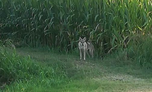 """PAVIA 03/09/2020: Al lupo al lupo! Ma era solo un cane Cecoslovacco. La LAV Oltrepò lo salva dal rischio abbattimento e ammonisce sugli acquisti fatti per """"moda"""""""