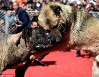 """VOGHERA PAVIA 14/10/2020: Animali. Enpa rilancia la campagna """"Mai più ring"""" a sostegno del recupero dei cani da combattimento"""