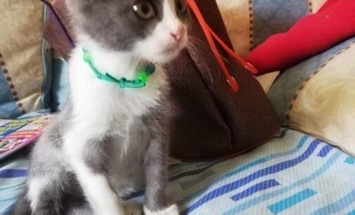 VOGHERA 08/10/2020: Trovato gattino. Chi lo riconosce