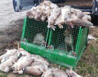 BASSA PAVESE 21/12/2020: Strage di lepri. Scoperti e sanzionati 3 cacciatori bergamaschi