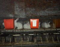 PAVIA 21/01/2021: Conigli sequestrati ad un allevamento. Gli animali restano presso l'associazione Centro Stalli (che ora ha bisogno di aiuto)