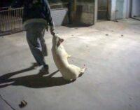 """VOGHERA 27/01/2021: Abusi negli allevamenti di maiali. Aquilini: """"Il Rispetto per la Vita vale anche per gli animali"""""""