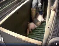 PAVIA VOGHERA 25/01/2021: Animali. Guardare per capire. Al Tg1 il VIDEO delle sevizie inflitte ai maiali in allevamenti anche del pavese