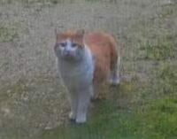 """VOGHERA PAVIA OLTREPO 05/02/2021: Animali. E' il periodo dei """"gatti amatori"""". Ecco chi sono e cosa fare (e soprattutto non fare) se li trovate. Parla l'Enpa"""