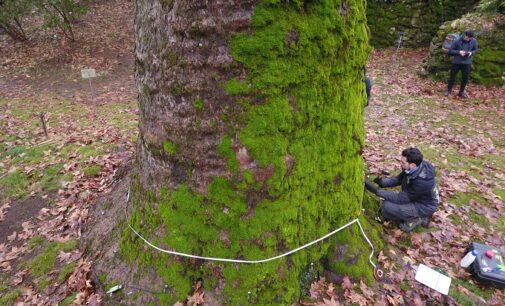 """PAVIA 22/03/2021: Buone notizie per il Platano dell'Orto Botanico. La visita dice che gode di """"ottima salute"""". Ora serve la stessa attenzione per gli alberi selvatici presenti nelle campagne"""