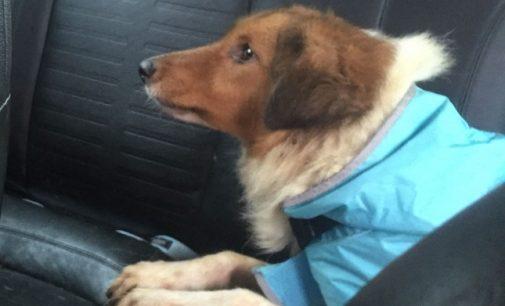 PAVIA VOGHERA OLTREPO 27/06/2021: Dal divano all'isolamento in gabbia. Un cane sensibile come lui rischia di non farcela. Cercasi famiglia per Biscotto