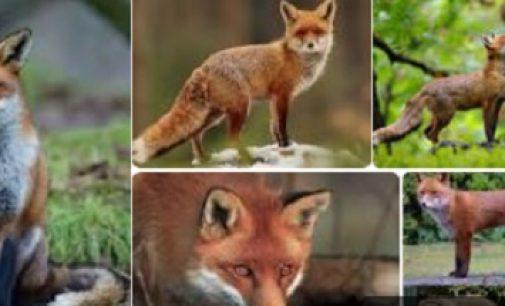 PAVIA 25/08/2021: Animali. La storia della volpe ferita che nessuno è stato in grado di aiutare
