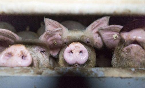 """ANIMALI 22/09/2021: Avranno l'etichettatura """"Benessere animale"""" anche le aziende che usano gabbie per i maiali e gli tagliano la coda. Le associazioni """"Inganno per i consumatori"""""""